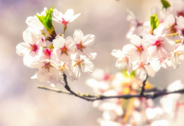 【北海道のおすすめお花見スポット!】サントリードリンクとご一緒に♪