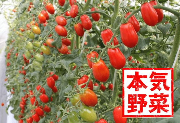 """北海道のスーパーで販売中♪道内各地で栽培したサントリー「本気野菜」のトマト""""純あま"""""""