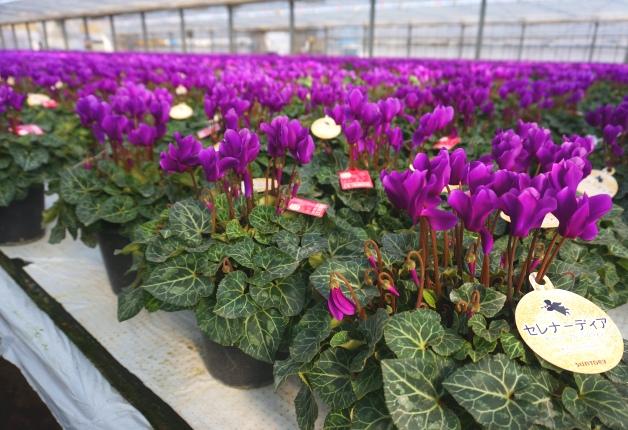 群馬県で栽培した青いシクラメン「セレナーディア」!新品種も登場します♪