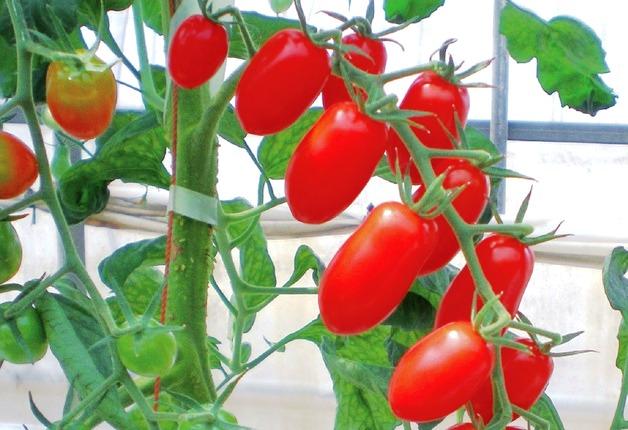 (終了しました)【DCMホーマック那珂店で「園芸まつり」開催!】サントリーフラワーズ「本気野菜」の試食&育て方講座も