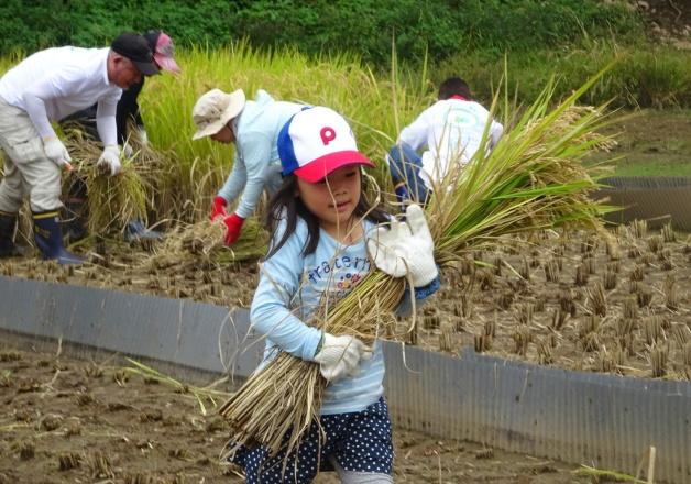 【サントリー水の国くまもと応援プロジェクト】復旧した「冬水田んぼ」で稲刈りを行いました♪