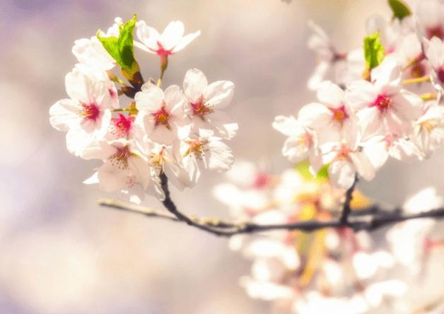 東北各県の桜の名所をご紹介!お花見は「金麦」とご一緒に♪