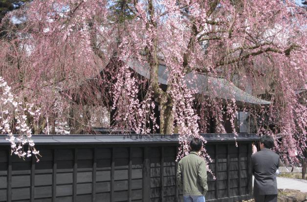 東北各県の桜の名所をご紹介!お花見は「金麦」とご一緒に♪ ...