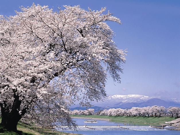 東北の桜名所をご紹介!お花見は金麦とご一緒に♪