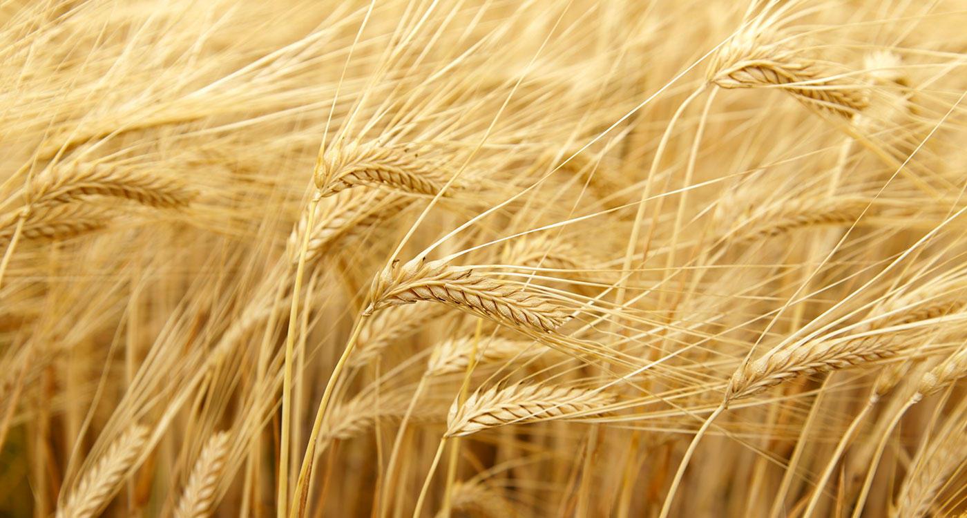 「お客さまの日々のおいしさを想うことから金麦は生まれた」のイメージ