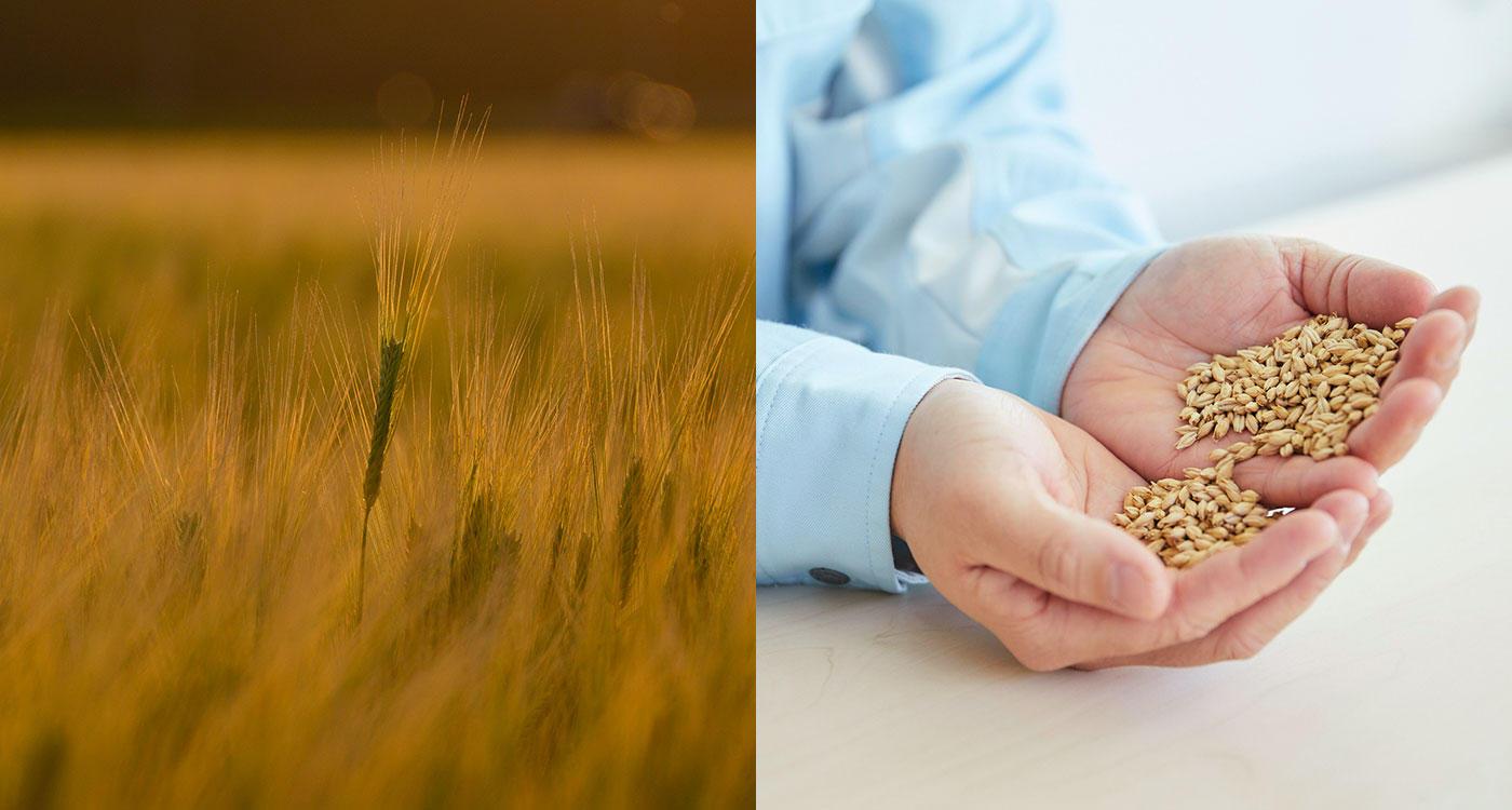 「さらなる金麦の進化のために旨味麦芽から贅沢麦芽へ」のイメージ