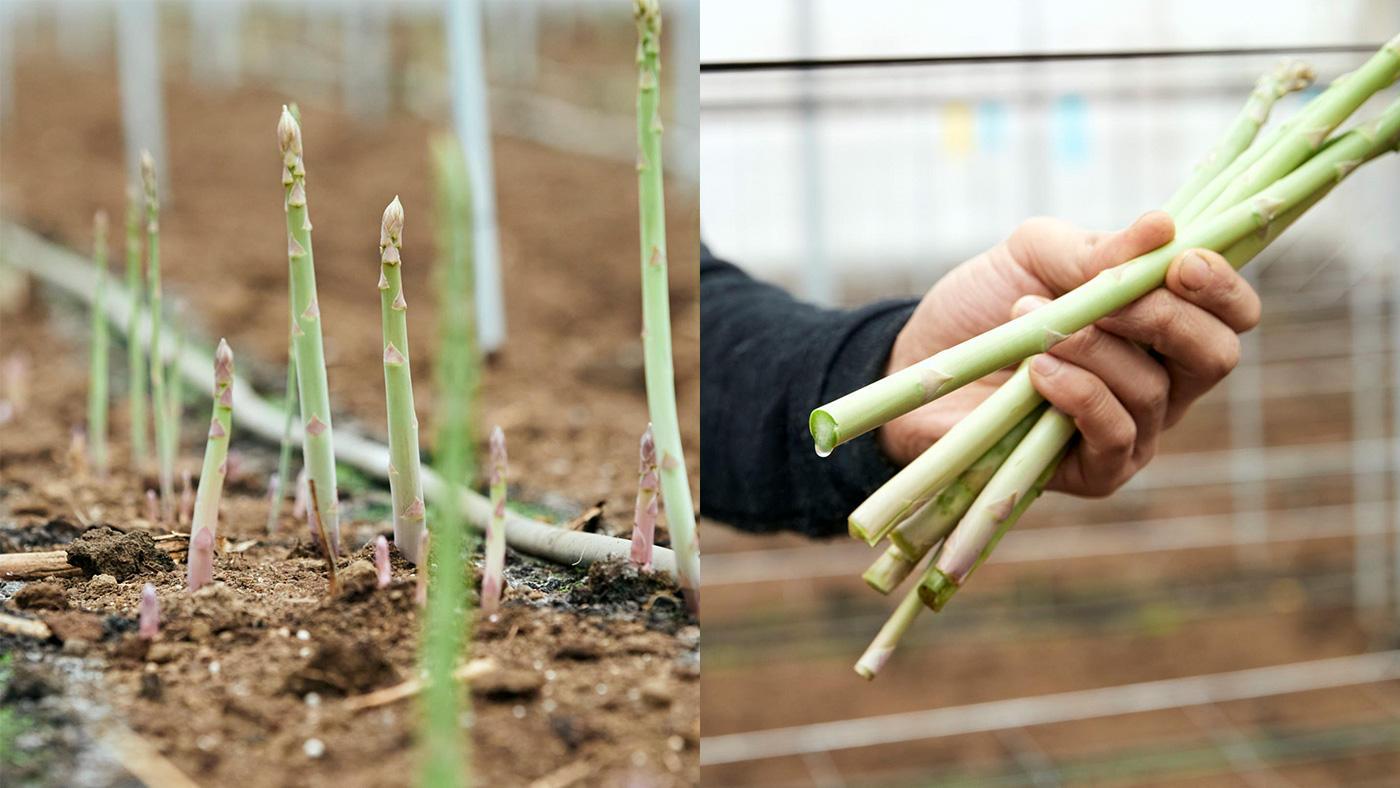 「春採りのアスパラガスは色も味も濃くて栄養豊富」のイメージ