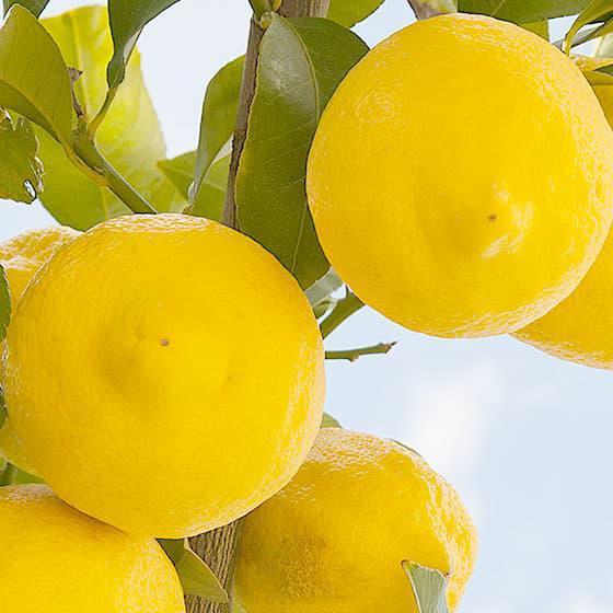 旬の食材・レモンの写真