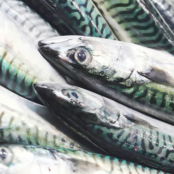 旬の食材・鯖の写真