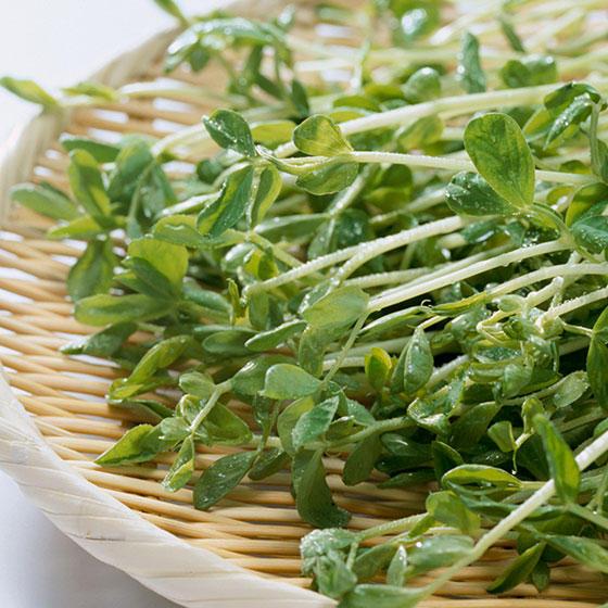 旬の食材・豆苗の写真