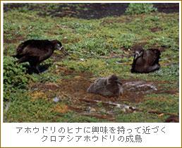 アホウドリの画像 p1_3
