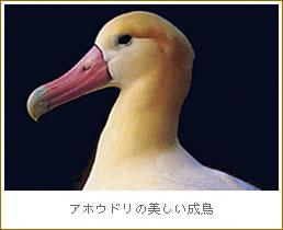 アホウドリの画像 p1_5