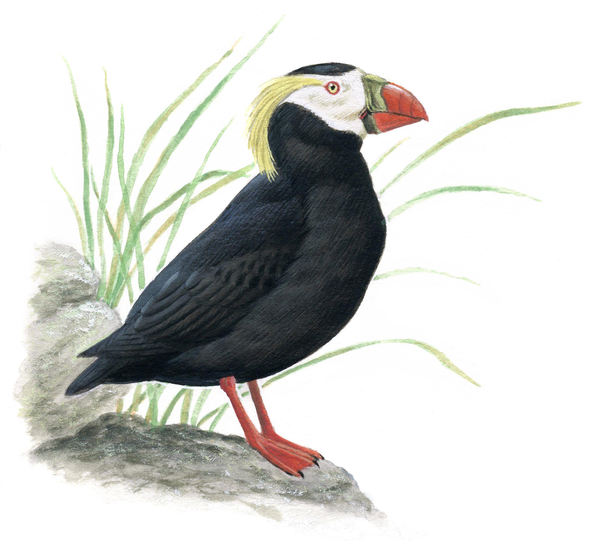 エトピリカ|日本の鳥百科|サン...