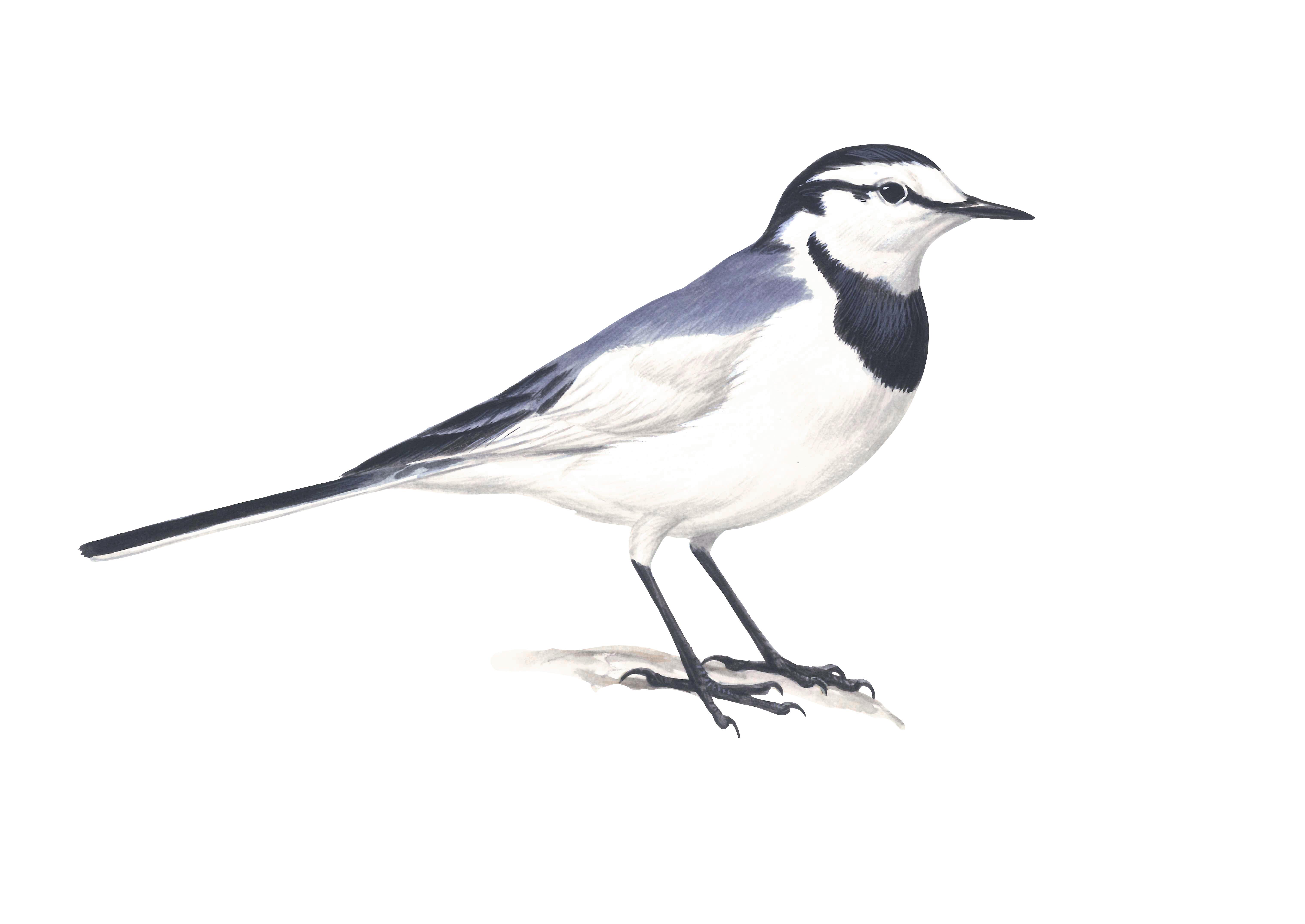 ハクセキレイ日本の鳥百科サントリーの愛鳥活動