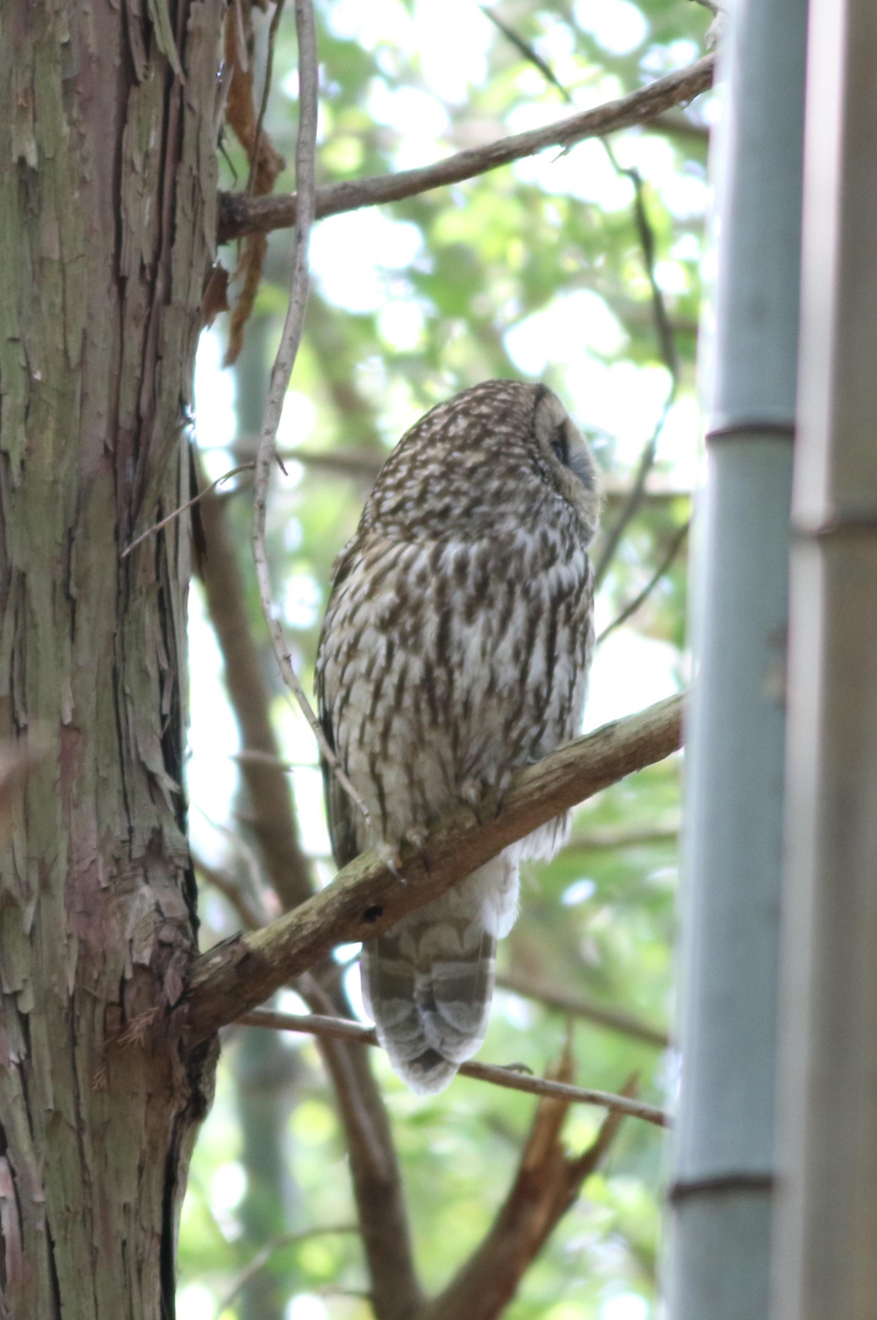フクロウ 日本の鳥百科 サントリーの愛鳥活動