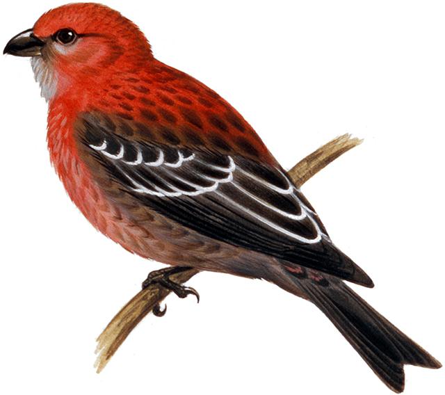 ギンザンマシコ|日本の鳥百科|...