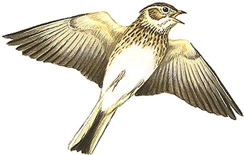 ヒバリ日本の鳥百科サントリーの愛鳥活動