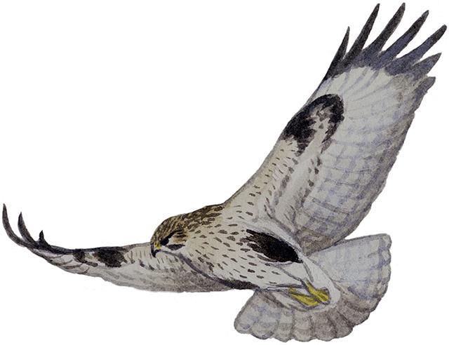 ノスリ|日本の鳥百科|サントリーの愛鳥活動