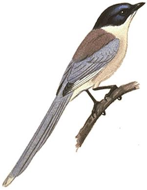 オナガ日本の鳥百科サントリーの愛鳥活動