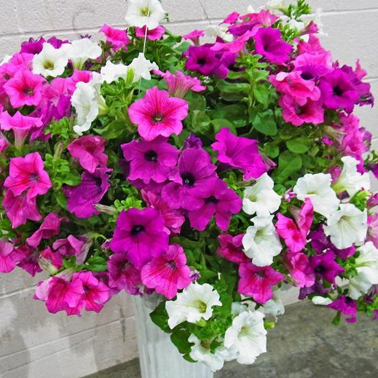 ガーデニングにおすすめの花「サフィニア」!初心者でもたくさん咲かせる育て方