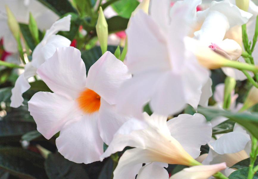 夏に強い花 サンパラソルシリーズ