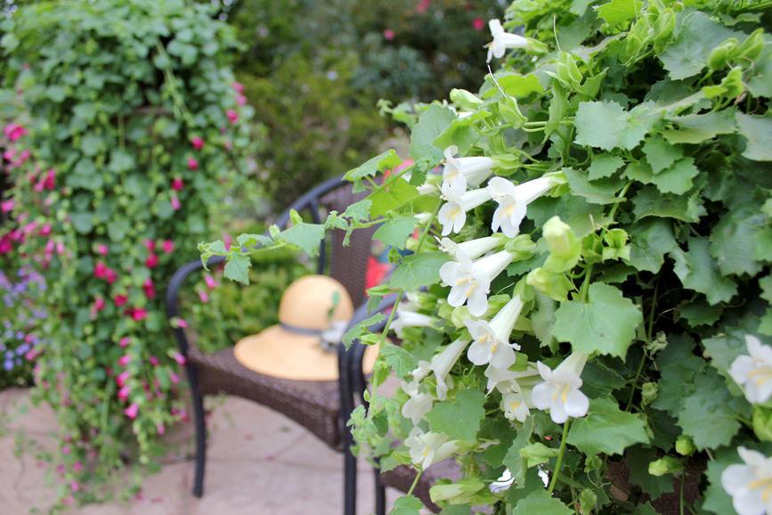 夏に強い花 ロフォス