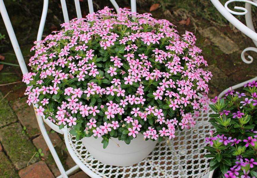 夏に強い花 フェアリースター