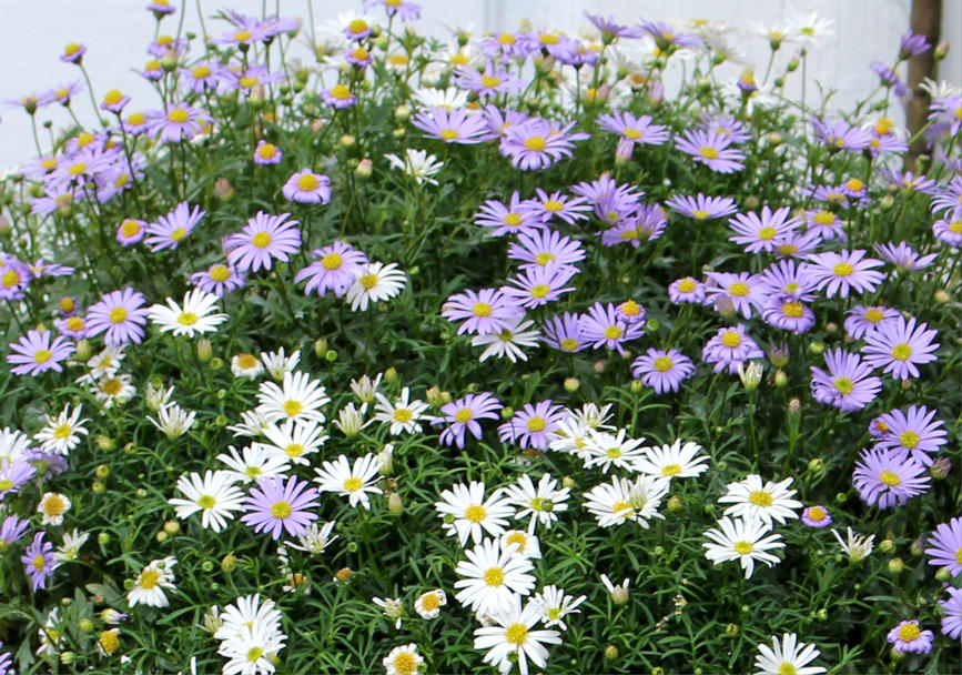 秋から楽しめて春は花いっぱい!すぐ楽星空マム