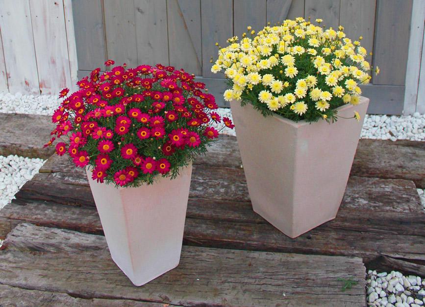 秋から楽しめて春は花いっぱい!セネッティ