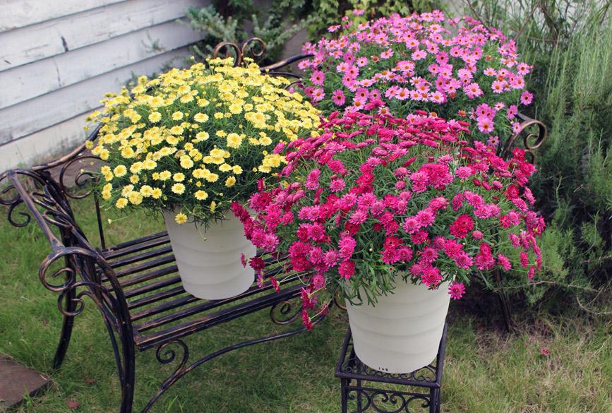 秋から楽しめて春は花いっぱい!ボンザマーガレット