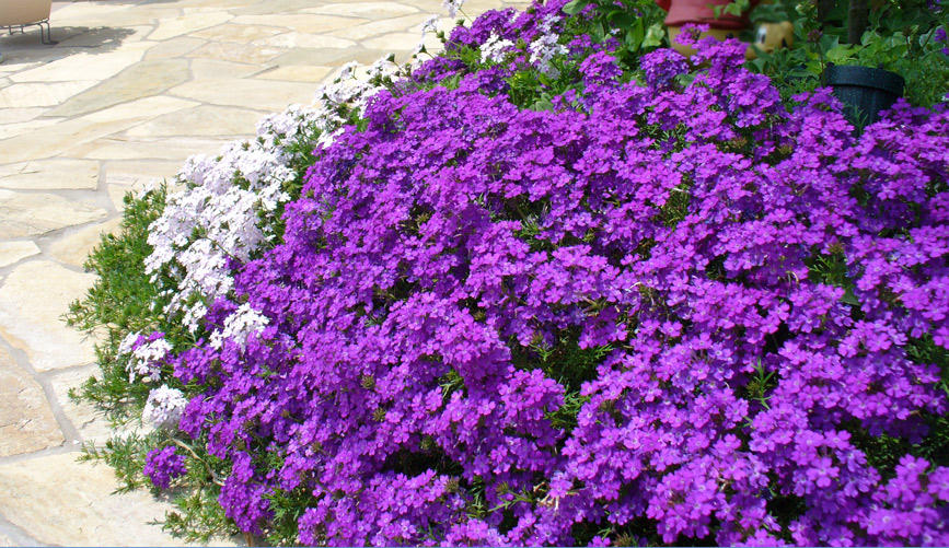 グランドカバーにおすすめ!タピアンで花の絨毯のある庭に。