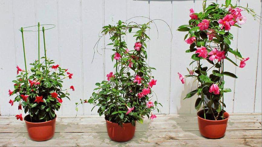 夏空に映える、暑さに強い花サンパラソルシリーズ
