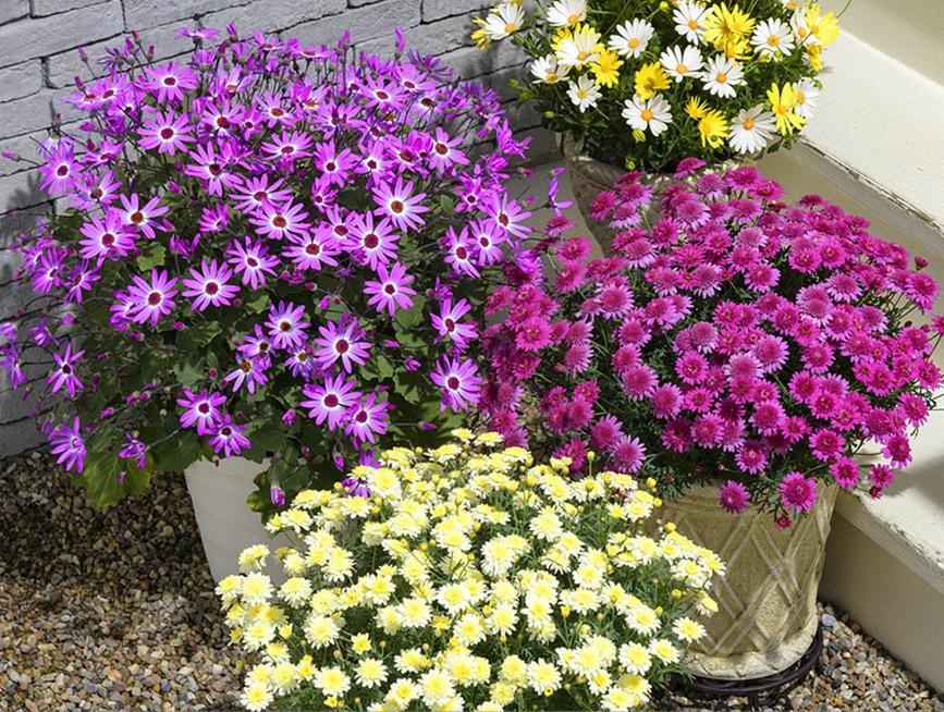 【秋植え】秋~春まで花を楽しめるマム6選
