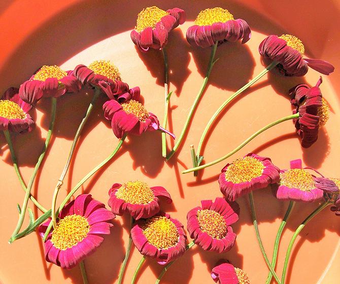 ツツジの花がら摘み