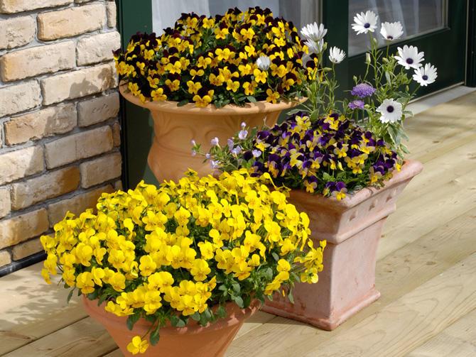 フィオリーナは育てやすく、お花いっぱい。