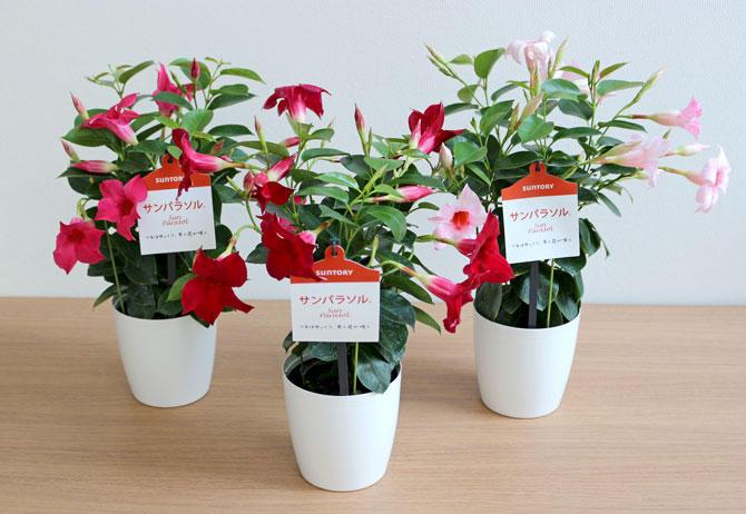 サンパラソル4号花鉢