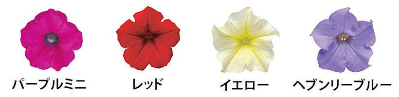 花つきサフィニア