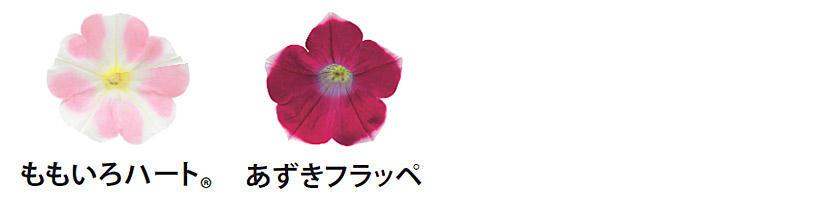 花つきサフィニアアート