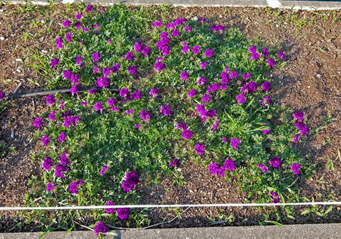 タピアン <9月下旬>花が咲き拡がります。