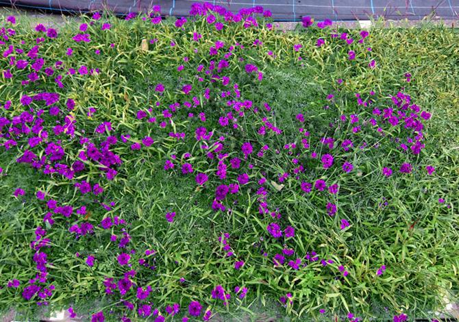 タピアン<11月上旬>植え込みから2ヵ月後には花壇を覆います。