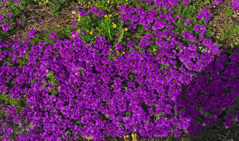 タピアン<4月下旬>雑草へ光を与えず繁茂を抑えながら、綺麗なお花のカーペットも楽しめます。