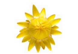 コロロ花苗 レモン 2~3分咲き