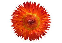 コロロ花苗 ブラッドオレンジ 5~6分咲き