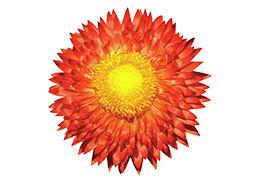 コロロ花苗 ブラッドオレンジ 8~10分咲き