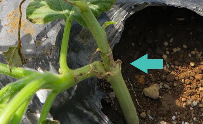 本気野菜スイカ 接木苗の植え込み