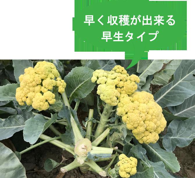 野菜苗 カリッコリー 本気野菜 カリフラワー ブロッコリー