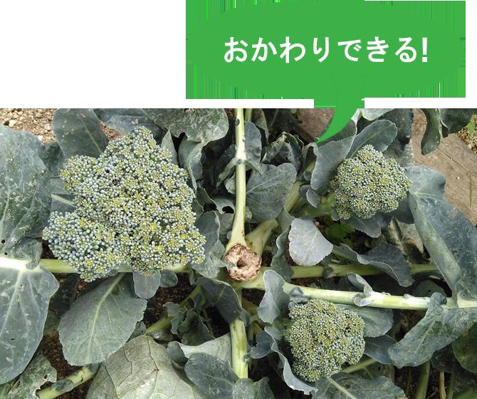 野菜苗  おかわりブロッコリー 本気野菜 ブロッコリー