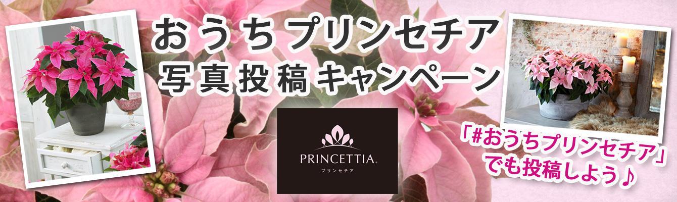 おうちプリンセチア 写真投稿キャンペーン
