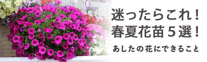 迷ったらこれ!初めてのガーデニングにおすすめの春夏花苗5選