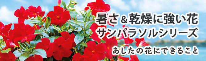 夏空に映える、暑さ&乾燥に強い花 サンパラソルシリーズ